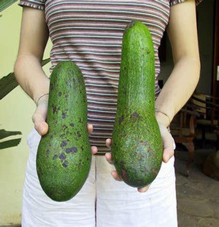 Jual Bibit Zucchini tanaman alpukat alligator bibitbunga