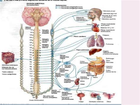 cadena ganglionar simpatica cervical estructura de la divisi 243 n simp 225 tica y parasimpatica