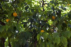 orange tree leaves and fruit clippix etc educational photos for students and teachers