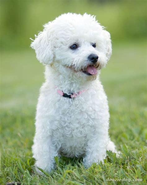 Does A Bichon Frise Shed by Bichon Frise Dogs Brichon Frise Care Petsrank Dogs