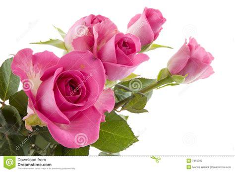 imagenes de flores libres flores rosadas de las rosas imagen de archivo imagen