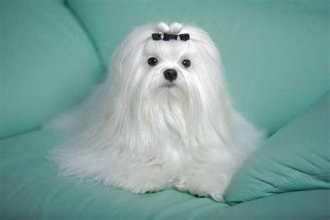 maltese puppy names maltese names for your or beautiful names and pets