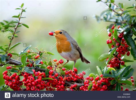 robin erithacus rubecula single eating pyracantha berries