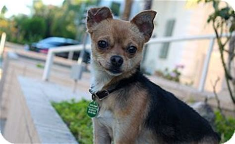 pinscher pomeranian mix los angeles ca pomeranian miniature pinscher mix meet sergio 8 pounds a for