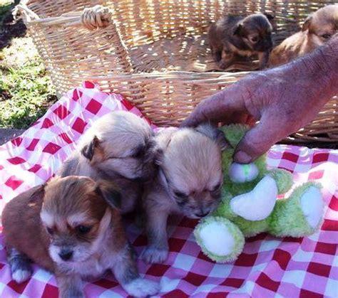 pomeranian puppies nsw for sale mini maltese x pomeranian puppies mudgee nsw