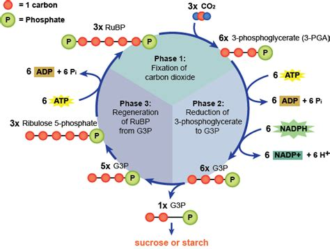 Where Do The Light Independent Reactions Of Photosynthesis Occur by A Level Biology Revision