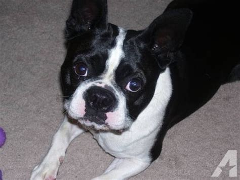 boston terrier pug mix puppies for sale brindle boston terrier pug mix breeds picture
