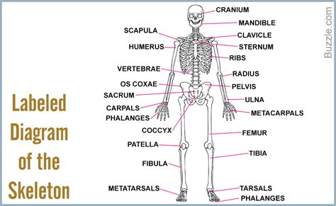 diagram of the human labeled diagram of bones in the human anatomy human