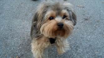 pictures of yorkie poo haircuts pictures of teddy cuts on yorkies breeds picture