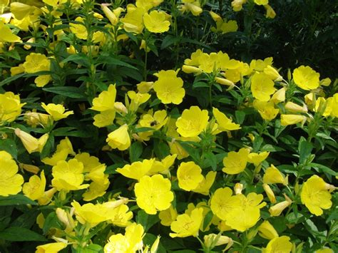 perennial shrub with yellow flowers 3 live evening primrose plants rooted plants beautiful
