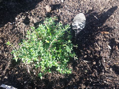 growing herbs a guide to successfully growing herbs outside