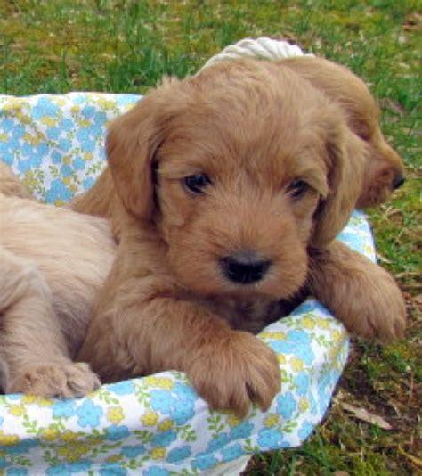 medium sized hypoallergenic dogs hypoallergenic dogs medium size about hypoallergenic dogs breeds picture