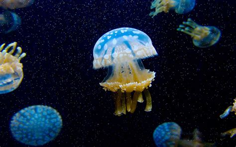jellyfish wallpaper for walls jellyfish full hd wallpaper and background image