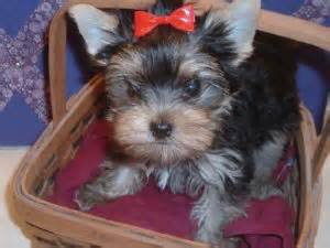 yorkie poo puppies for sale philadelphia pa terrier puppies in pennsylvania