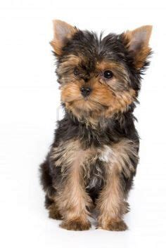 ebay classifieds yorkie 1000 images about yorkies