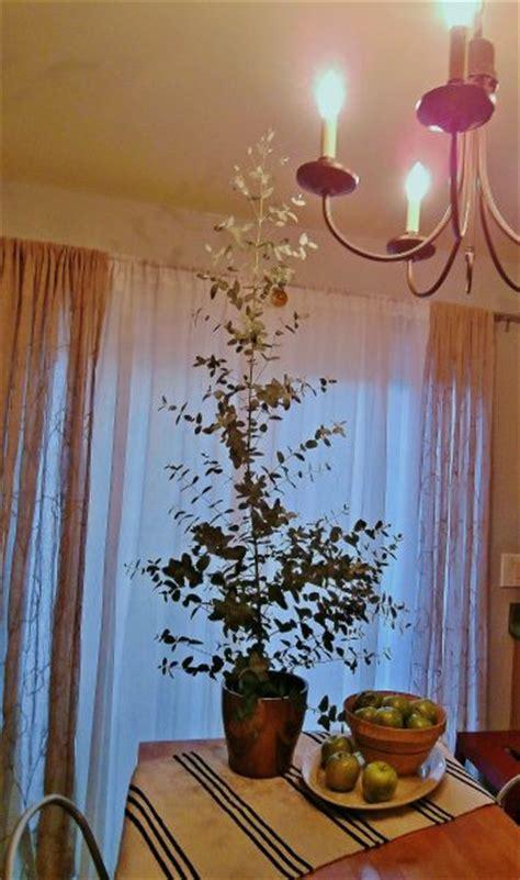 eucalyptus  grown indoors potted eucalyptus trees