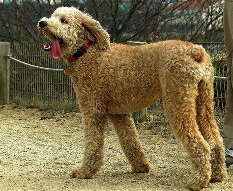 poodle colors apricot apricot standard poodles www imgkid the image kid