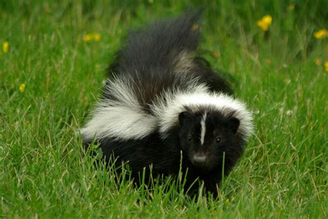 skunk smell removal my was sprayed what do i do