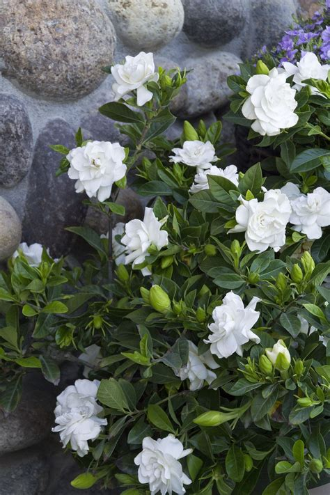 gardenia garden planning pinterest