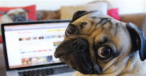 the caign pugs doug the pug is social media s furriest superstar