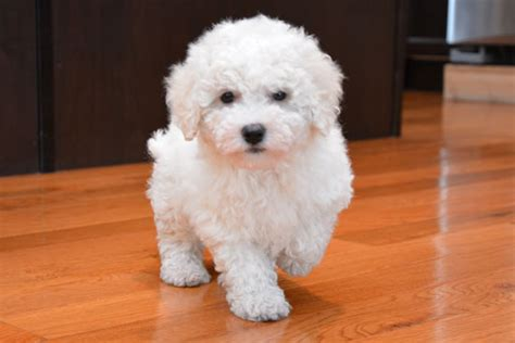 bichon poo puppies 301 moved permanently