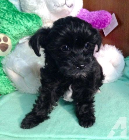 yorkie poo wisconsin yorkie poo puppies for sale in lena wisconsin classified americanlisted