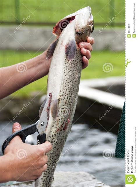 fish cleaning with cleaning fish royalty free stock image image 10544086