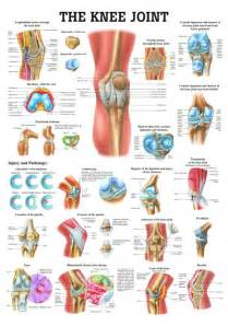 Anatomy of knee knee anatomy joint gliding synomial hinger anterior