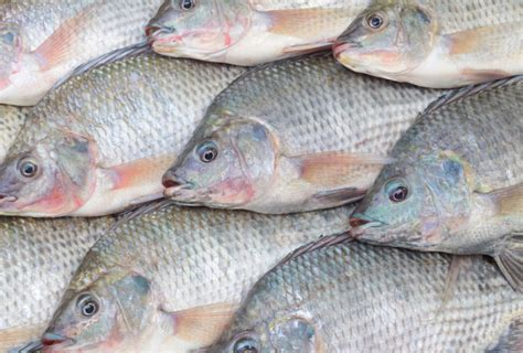 www fish how aquaculture is threatening the native fish species of