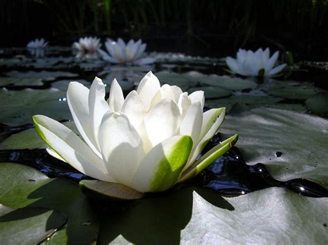 lotus flower lotus flowers wallpapers hd pictures one hd wallpaper