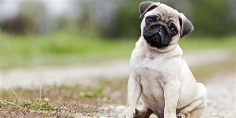 how do pugs usually live help was thinking about getting into bonsai need some advice bonsai