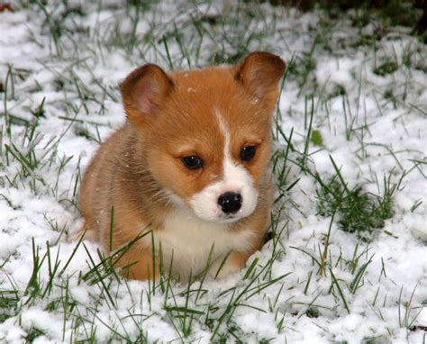 corgi puppy taking care of corgis animals wiki pictures stories