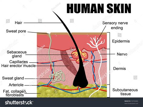 vertical section of the skin human skin cross section vector illustration useful for