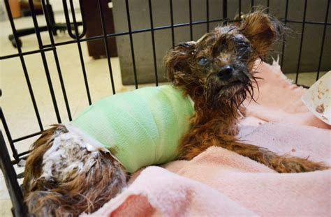 yorkie 4 months 4 month yorkie puppy suffered severe acid attack aol news