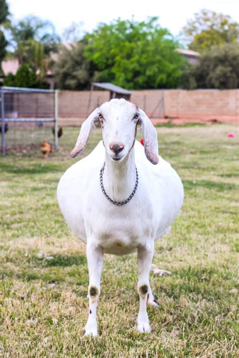 stomach swollen acting normal how to tell if your goat is