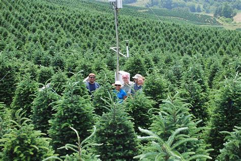 nc sees bumper crop of christmas trees this year college