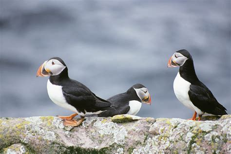 alcidae auks murres puffins wildlife journal junior