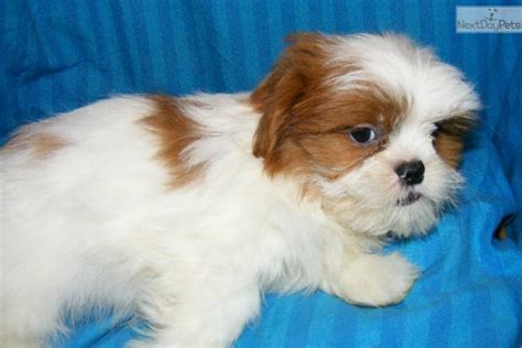 shih tzu breeders in arkansas shih tzu