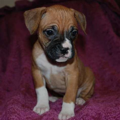 boxer puppies for adoption boxer puppies for sale adoption from mossleigh alberta vulcan adpost classifieds