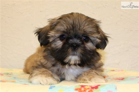 shih tzu imperial for sale pin shih tzu puppies for sale imperial on
