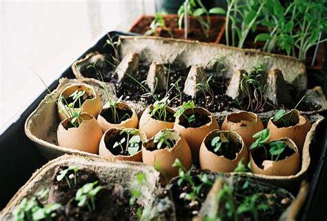 Eggshells Garden by Seedlings In Egg Shells And Egg Cartons Garden Tools