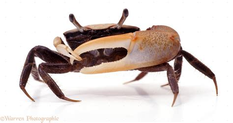 fiddler crab photo wp06135