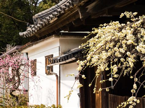 traditional alpine house stock photo image of blooming plum trees blooming in a courtyard of traditional japanese