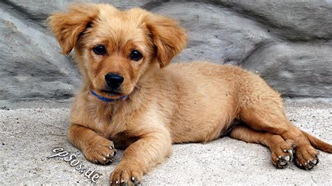 golden retriever puppies wiki file golden retriever puppy 2010 jpg wikimedia commons