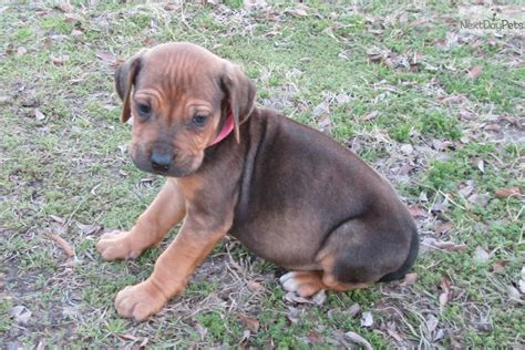 rhodesian ridgeback puppies for sale california rhodesian ridgeback puppy for sale near east tx 80c9c0de 2ca1