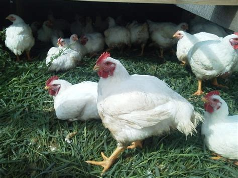 money with chickens how to make up to 12k a year with just 15 chickens books how to raise chickens advice for every beginner