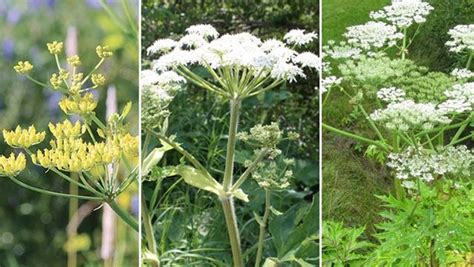 Wild parsnip, cow parsnip, giant hogweed: can you identify