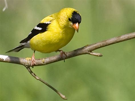 american goldfinch willapa u s fish and wildlife service