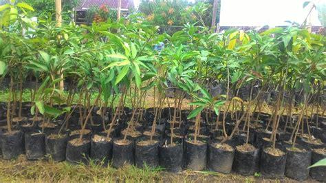 Bibit Alpukat Cepat Buah pusat distributor grosir eceran jual bibit tanaman buah
