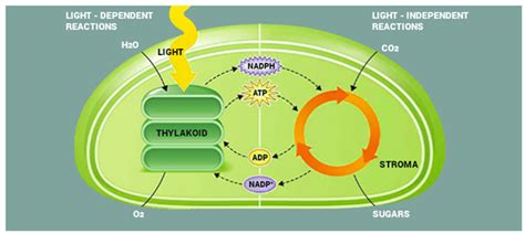 light dependent reactions definition mechanism and